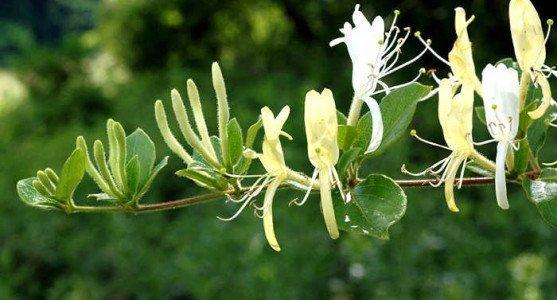 Hanımeli Çiçeği Nasıl Yetiştirilir?