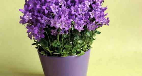 Menekşe Çiçeği Bakımı Nasıl Yapılır?